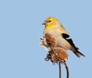 Мыжской американский Goldfinch в plumage зимы Стоковые Изображения RF