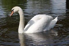 мыжской безгласный лебедь Стоковая Фотография