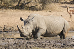 Мыжской белый носорог в грязи wallow, Южно-Африканская РеспублЍ Стоковые Фотографии RF