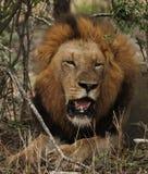 Мыжской лев стоковые фотографии rf