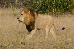 Мыжской лев Стоковые Фото