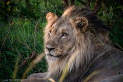 Мыжской лев Стоковые Изображения RF