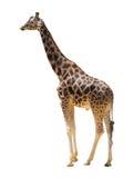 Мыжской жираф Стоковое Изображение RF