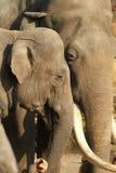 Мыжской и женский обнимать слонов Стоковые Изображения RF
