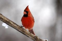 Мыжской кардинал на ветви Стоковые Фото