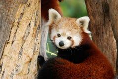мыжской красный цвет панды Стоковые Фото