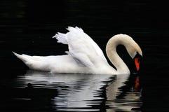 мыжской лебедь Стоковое Изображение RF