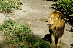 Мыжской львев Стоковое фото RF