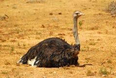 мыжской отдыхать страуса Стоковые Фото