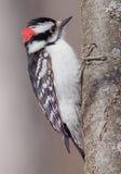 Мыжской пуховый Woodpecker. Стоковое Фото