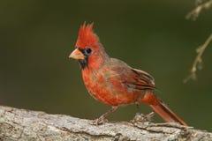 Мыжской северный Cardinal на журнале Стоковые Изображения RF