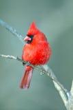 Мыжской северный Cardinal Стоковое Фото