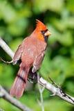 Мыжской северный Cardinal Стоковая Фотография