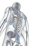 Мыжской скелет Стоковое Фото