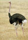 мыжской страус стоковое фото rf