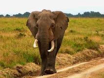 Мыжской слон Стоковая Фотография RF