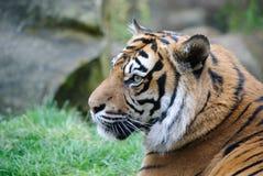 мыжской тигр stare профиля портрета вы Стоковое Изображение RF