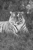 мыжской тигр stare профиля портрета вы Стоковое Фото