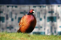 мыжской фазан Стоковая Фотография