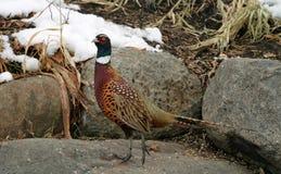 мыжской фазан Стоковая Фотография RF
