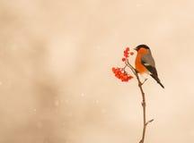 Питания мыжские Bullfinch на ягодах Стоковое Изображение