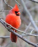 Мыжской Cardinal Стоковые Изображения