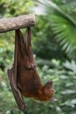 Мыжской Fox летания Стоковые Фотографии RF