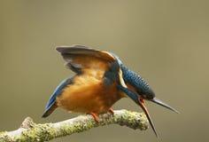 Мыжской Kingfisher - atthis Alcedo Стоковые Изображения