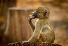 Мыслитель павиана младенца стоковое фото