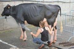 мытье коровы Стоковое Фото