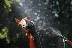 Мытье лошади Стоковое Изображение RF