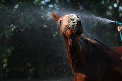 Мытье лошади Стоковое Фото