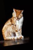 Мыть кота имбиря на черной предпосылке стоковые изображения