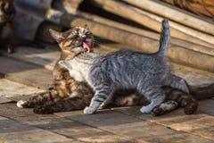 Мыть котенка кота Стоковое фото RF