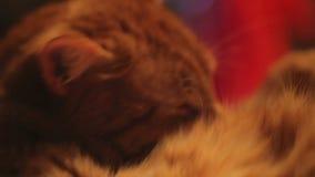 Мыть сами кота имбиря сток-видео