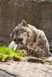 мыть снежка леопарда Стоковые Фото