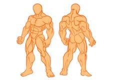 Мышечный человек, модельное вид спереди и задний взгляд Стоковые Фотографии RF