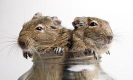 2 мыши в опарнике Стоковое Изображение