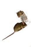 Мыши и стекло Стоковые Изображения