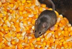Мыши поля Стоковое Изображение