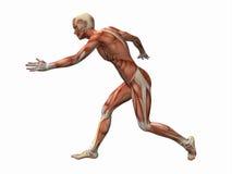 мышца человека Стоковое Изображение