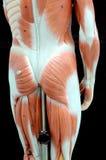 мышца Стоковое Изображение