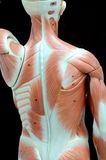 мышца Стоковая Фотография RF