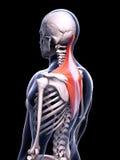 Мышца trapezius Стоковая Фотография RF