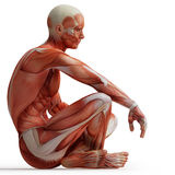 мышцы анатомирования иллюстрация вектора