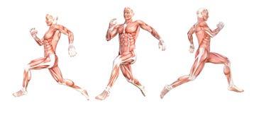 Мышцы анатомического человека идущие стоковое изображение