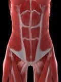 Мышцы женщин подбрюшные иллюстрация вектора