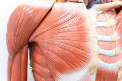 Мышцы плеча для образования физиологии стоковая фотография rf