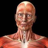 Мышцы стороны лицевые - человеческая анатомия Стоковая Фотография
