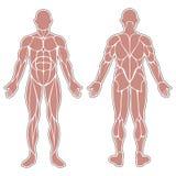 Мышцы человеческого тела Стоковое Изображение